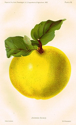 "Pomologist's Report - USDA - ""JOHNSON QUINCE"" - Chromolithograph - 1893"