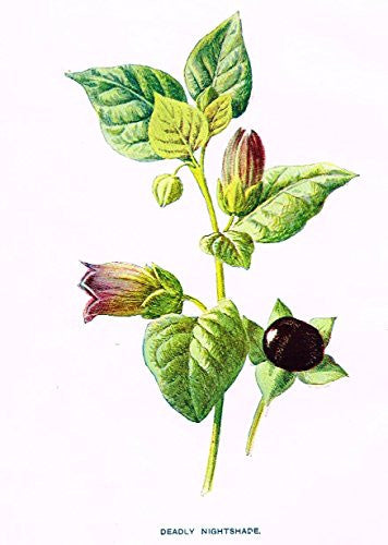 "Hulme's Familiar Wild Flowers - ""DEADLY NIGHTSHADE"" - Lithograph - 1902"
