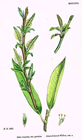 "Sowerby's English Botany - ""ALMOND-LEAVED WILLOW"" - H-Col'd Litho - 1873"
