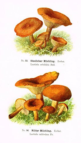 Schmalfub's Mushrooms - MILDER MILCHLING - Coloured Lithograph - 1897