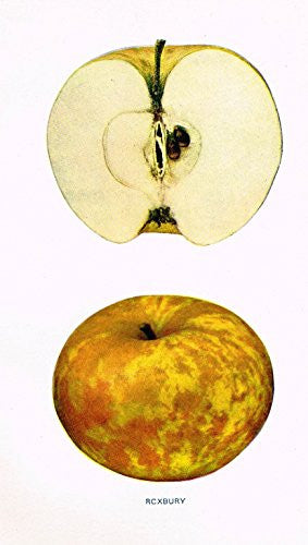 "Beach's Apples of New York - ""ROXBURY"" - Lithograph - 1905"