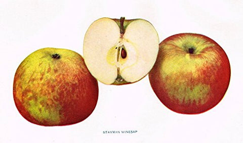 "Beach's Apples of New York - ""STAYMAN WINESAP"" - Lithograph - 1905"