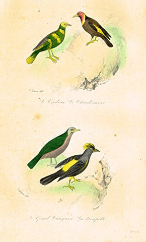 "Buffon's Book of Birds - ""LE GRANDE CANGARA"" - Hand-Colored Engraving - 1841"