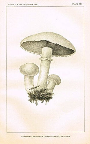 "U.S.D.A. Yearbook Mushrooms - ""COMMON FIELD MUSHROOM - EDIBILE"" - Lithograph - 1897"