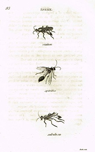 "Shaw's General Zoology - INSECTS - ""SPHEX - VIATICA"" - Copper Engraving - 1805"