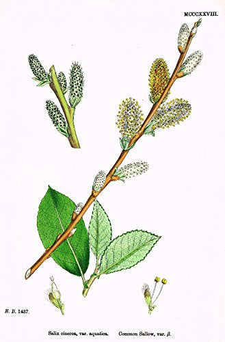 "Sowerby's English Botany - ""COMMON SALLOW B"" - Hand-Colored Litho - 1873"