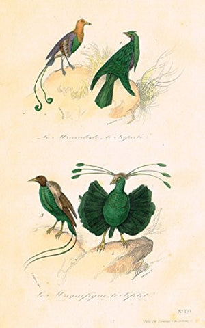 "Buffon's Book of Birds - ""LOVELY GREEN BIRDS"" - Hand-Colored Engraving - 1841"