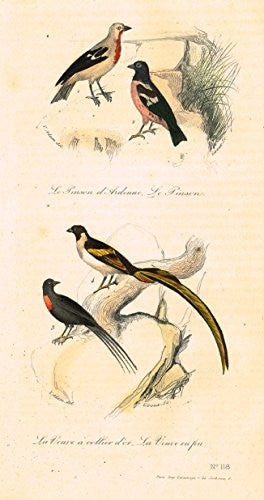 "Buffon's Book of Birds - ""LE VEIVE A COLLIER D'OR - Hand-Colored Engraving - 1841"