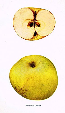 "Beach's Apples of New York - ""REINETTE PIPPIN"" - Lithograph - 1905"