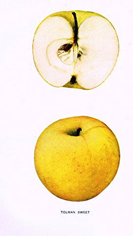 "Beach's Apples of New York - ""TOLMAN SWEET"" - Lithograph - 1905"