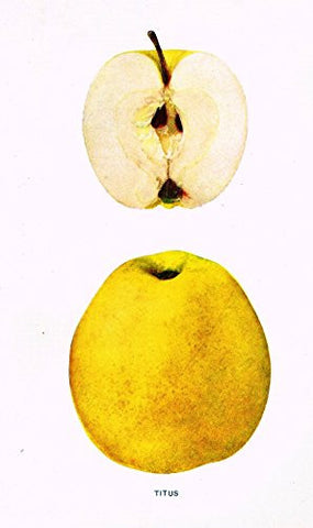 "Beach's Apples of New York - ""TITUS"" - Lithograph - 1905"