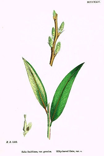 "Sowerby's English Botany - ""SILKY LEAVED OSIER"" - Hand-Colored Litho - 1873"