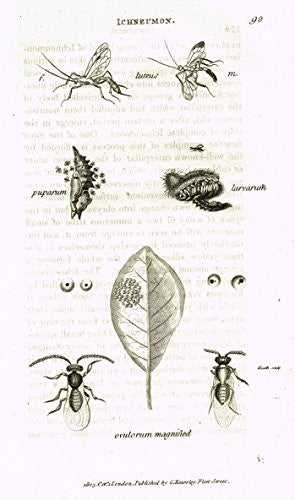 "Shaw's General Zoology - INSECTS - ""ICHNEUMON OVULORUM"" - Copper Engraving - 1805"