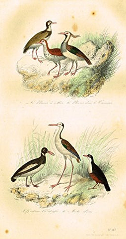 "Buffon's Book of Birds - ""LE PLUVIER D'OR"" - Hand-Colored Engraving - 1841"