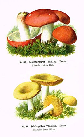 Schmalfub's Mushrooms - ROSENFARBIGER TAUBLING - Coloured Lithograph - 1897
