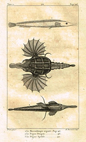 "De Lacepede's L'Histoire Naturelle - ""DRAGON FISH"" - Copper Engraving - 1825"