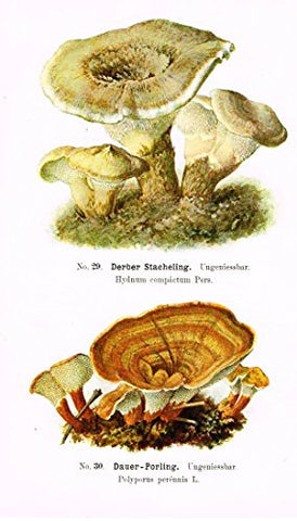 Schmalfub's Mushrooms - DERBER PORLING - Coloured Lithograph - 1897