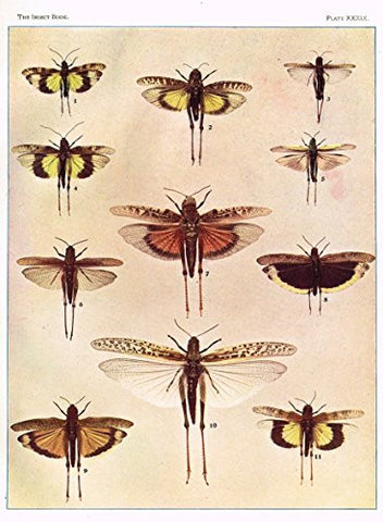Howard's The Insect Book - SHORT HORNED GRASSHOPPERS OR TRUE LOCUSTS - Lithograph - 1902