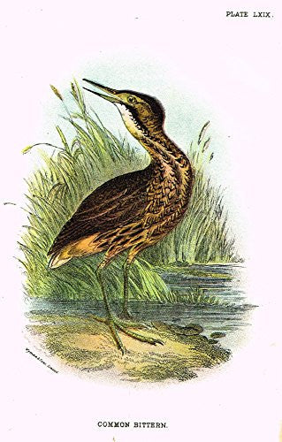 "Lloyd's Natural History - ""COMMON BITTERN"" - Pl. LXIX - Chromolithograph - 1896"