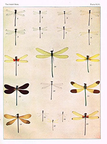 Howard's The Insect Book - DRAGON FLIES (REDUCED 1/3) - Lithograph - 1902