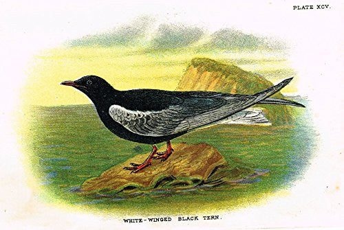 "Lloyd's Natural History - ""WHITE WINGED BLACK TERN"" - Pl. XCV - Chromolithograph - 1896"