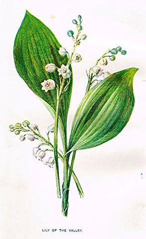 "Hulme's Familiar Wild Flowers - ""LILY OF THE VALLEY"" - Lithograph - 1902"
