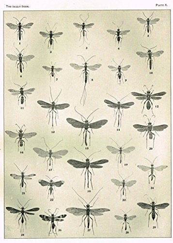 "Howard's The Insect Book - ""ICHNEUMON FLIES - PLATE X"" - Lithograph - 1902"