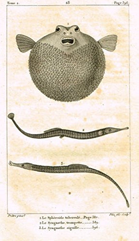 De Lacepede's L'Histoire Naturelle - BLOW FISH - Copper Engraving - 1825