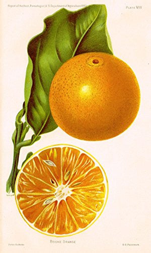 Pomologist's Report - USDA - BOONE ORANGE - Chromolithograph - 1893