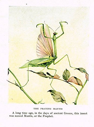 Fabre's Book of Insects - THE PRAYING MANTIS - Lithograph - c1923