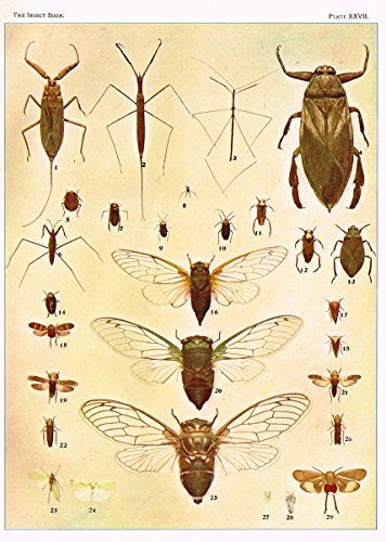 "Howard's The Insect Book - ""BUGS, LEAF-HOPPERS AND CICADAS"" - Lithograph - 1902"