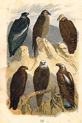 "Buffon's Birds - ""CONDOR, GEYER, VULTURE, EAGLE, OWL ETC."" - Chromolithograph - 1869"