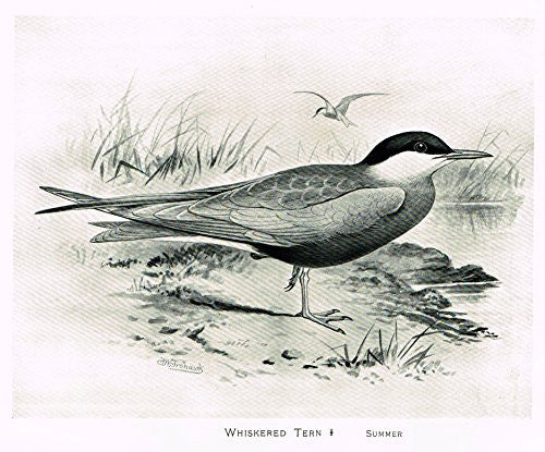"Frowhawk's British Birds - ""WHISKERED TERN - SUMMER"" - Lithograph - 1896"