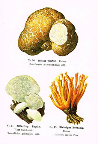 Schmalfub's Mushrooms - WEISSE TRUFFEL - Coloured Lithograph - 1897