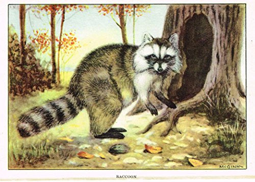 Seton's Northern Animals - RACCOON - Lithograph - 1909