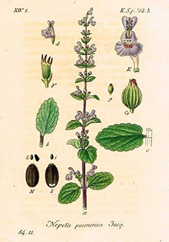 "Strum's Flowers - ""NEPETA PANNONICA"" - Miniature Hand-Colored Engraving - 1841"