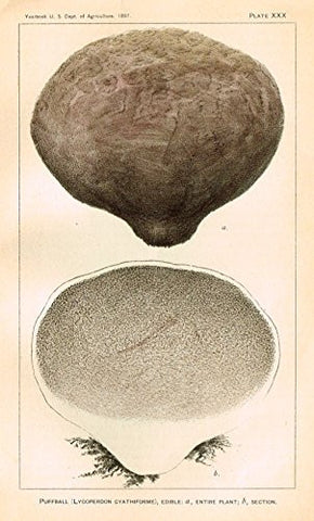 "U.S.D.A. Yearbook Mushrooms - ""PUFFBALL - EDIBILE"" - Lithograph - 1897"