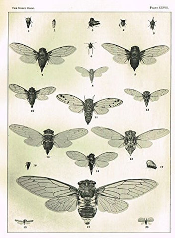 Howard's The Insect Book - CICADAS & LEAF-HOPPERS - PLATE XXVIII - Lithograph - 1902