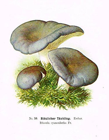 Schmalfub's Mushrooms - BLAULICHER TAUBLING - Coloured Lithograph - 1897