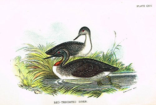 "Lloyd's Natural History - ""RED-THROATED DIVER"" - Pl. CXIV - Chromolithograph - 1896"