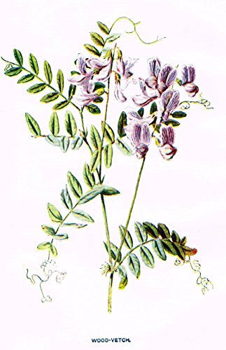 "Hulme's Familiar Wild Flowers - ""WOOD-VETCH"" - Lithograph - 1902"