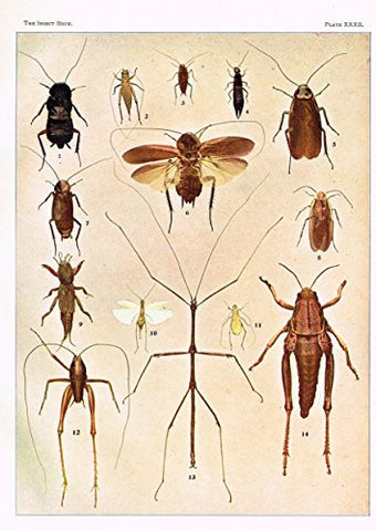 Howard's The Insect Book - MISCELLANEOUS OTHOPTERA - Lithograph - 1902