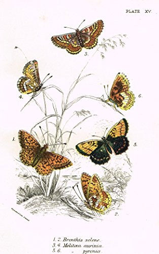 "Kirby's Butterfies & Moths - ""BRENTHIS - Plate XV"" - Chromolithogrpah - 1896"