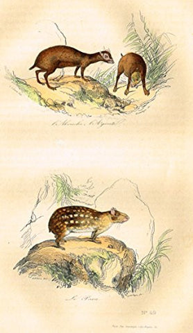 "Buffon's Book of Birds - ""ANIMALS - LE PACA"" - Hand-Colored Steel Engraving - 1841"