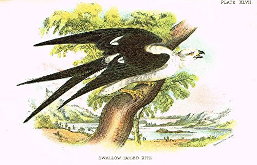 "Lloyd's Natural History - ""SWALLOW-TAILED KITE"" - Pl. XLVII - Chromolithograph - 1896"