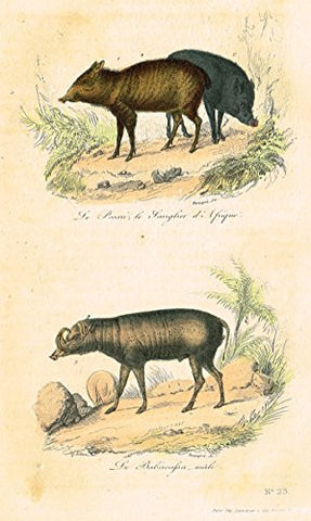 "Buffon's Book of Birds - ""ANIMALS - WILD BOARS"" - Hand-Colored Steel Engraving - 1841"