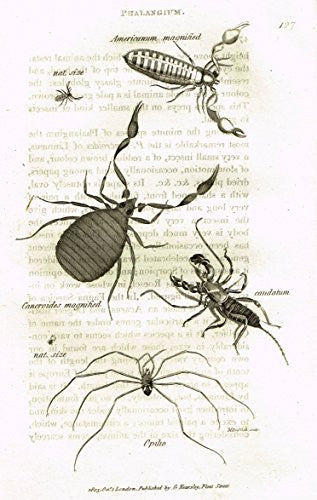 "Shaw's General Zoology - INSECTS - ""PHALANGIUM OPILIO"" - Copper Engraving - 1805"