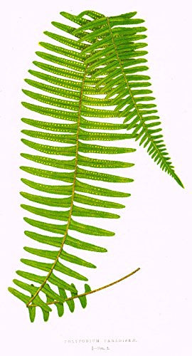"Lowe's Ferns - ""POLYPODIUM PARADISEE"" Chromolithograph - 1856"