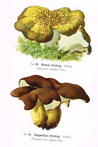 Schmalfub's Mushrooms - KAMM PORLING - Coloured Lithograph - 1897