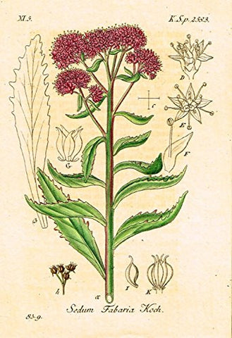 "Strum's Flowers - ""SEDUM FABARIA KOCH"" - Miniature Hand-Colored Engraving - 1841"